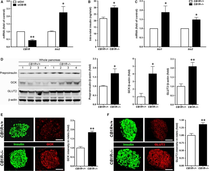 Effects of blocking CB1R on intra‐β‐cell insulin content and glucokinase (GCK) and glucose transporter 2 (GLUT2) expressions. A, CB1R and Insulin ( Ins2 ) mRNA levels in βTC6 cells transfected with control (siCtrl) or CB1R (siCB1R) siRNA. B, Intra‐islet insulin content in islets isolated from CB1R +/+ and CB1R −/− mice. Insulin was extracted from islets freshly isolated from CB1R +/+ and CB1R −/− mice using acid‐alcohol (n = 3 separate isolates). Size‐matched 10 islets per tube were analysed, and data were normalized to protein concentration. C, Insulin ( Ins1 and Ins2 ) mRNA levels in islets isolated from CB1R +/+ and CB1R −/− mice (n = 4 separate isolates). Data were normalized to 18S ribosomal RNA levels. D, Western blot analysis of preproinsulin, GCK and GLUT2 expressions in total lysates prepared from whole pancreata of overnight‐fasted CB1R +/+ and CB1R −/− (n = 4 per genotype) mice. Signals on Western blots were quantified by densitometry and are shown on the right. E and F, Immunofluorescent staining for GCK (E) and GLUT2 (F) in islets of overnight‐fasted CB1R +/+ and CB1R −/− mice. Scale bar, 50 μm. Relative signal intensity for the indicated proteins in islets is shown on the right (n = 3 per genotype). Quantification of GCK and GLUT2 intensities was shown on the right. Data are shown as the mean ± SEM from three independent experiments. * P