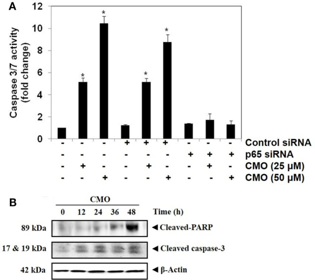 (A) Knockdown of p65 by small interfering <t>RNA</t> <t>(siRNA)</t> reduces the apoptotic effect of CMO. HepG2 cells were transfected with either control or p65 specific siRNA (50 nM). After 48 h, the cells were treated with CMO (25 or 50 µM) for 24 h, and the enzymatic activity of caspase-3/7 was determined by Caspase-Glo ® 3/7 assay kit. (B) CMO increases the cleavage of PARP and Caspase 3 in HCCLM3 cells. HCCLM3 cells were treated with 50 µM CMO for 12, 24, 36, and 48 h, after which, the whole-cell extracts were prepared, and 30 µg of protein was resolved on 12% SDS-PAGE gel, electrotransferred onto nitrocellulose membranes, and probed for cleaved PARP and cleaved caspase 3 antibodies. The data are expressed as mean ± SD, compared with the untreated control (* p
