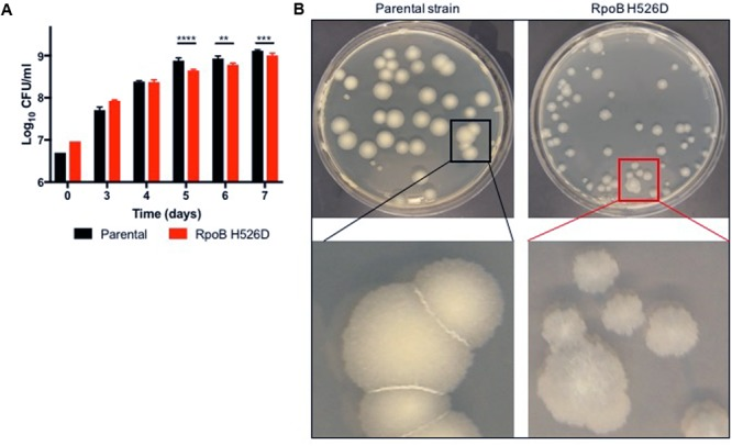 The Mycobacterium tuberculosis (Mtb) RpoB H526D mutant strain exhibits slow growth rate and altered colony morphology. (A) Growth kinetics of Mtb strains in supplemented Middlebrook 7H9 broth. ∗∗ p