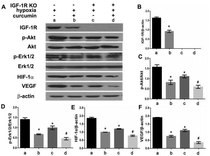 Effect of curcumin and hypoxia on IGF-1R, p-Akt, p-Erk1/2, HIF-1α, VEGF protein expression in IGF-1R knockout HepG2 cells. (A) IGF-1R, p-Akt, p-Erk1/2, HIF-1α, VEGF protein expression were detected by western blot analysis. Graphic representation of relative density of (B) IGF-1R, (C) p-Akt, (D) p-Erk1/2, (E) HIF-1α and (F) VEGF protein levels, which were normalized to those of β-actin, Akt or Erk1/2, respectively. *P