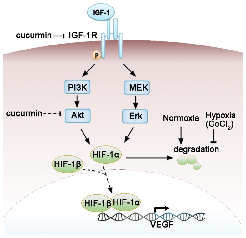 Molecular mechanisms by which curcumin regulates the IGF-1R signaling pathway and the expression of VEGF in HepG2 cells under CoCl 2 -induced hypoxia. The arrow and blocked arrow (no arrowhead) indicate stimulation and inhibition, respectively. The dotted arrow indicates the translocation of HIF-1α and HIF-1β. The dotted blocked arrow indicates the potential effects of curcumin not directly examined in the present study. It was concluded that curcumin may suppress the expression of HIF-1 and VEGF by targeting IGF-1R or its downstream signaling pathways. VEGF, vascular endothelial growth factor; HIF-1α, hypoxia-inducible factor-1α; HIF-1β, hypoxia-inducible factor-1β; IGF-1, insulin-like growth factor-1; IGF-1R, insulin-like growth factor-1 receptor; PI3K, phosphoinositide-3-kinase; Akt, protein kinase B; MEK, mitogen-activated protein kinase-Erk kinase; Erk, extracellular signal-regulated kinase.