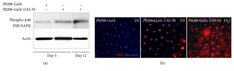 Obese larvae show activation of <t>JNK/SAPK</t> signaling and increased ROS production . (a) Western blot from lysates of FBs showing the level of phosphorylation of JNK/SAPN <t>p46</t> kinase, in P0206-Gal4 (control) and P0206-Gal4; UAS-Ni animals. Actin was used as control loading. (b) Confocal photographs (20x) of cells from FBs stained with DHE (red) for ROS and Hoechst (blue) for nuclei.