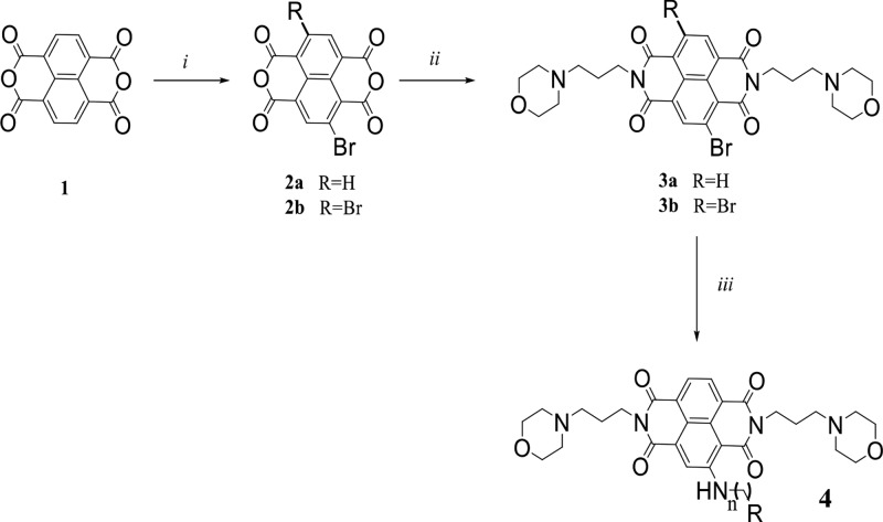 Synthesis of Compound CM03 ( 4 ) (i) 5,5-Dimethyl-1,3-dibromohydantoin, H 2 SO 4 , 80° C, 72 h; (ii) 3-morpholinopropylamine, acetic acid, microwave, 130 °C, 25 min (The intermediate 3b was not isolated); (iii) amine, NMP, microwave, 125 °C, 30 min. For CM03, n = 2, R = pyrrolidino. The overall yield of the synthesis for steps i to iii (compound 4 : CM03) was 26%. The yield for steps i and ii (from compound 1 to compound 3a ) was 35%; the yield for final step (iii) (compound 3a to compound 4 (CM03)) was 75%.