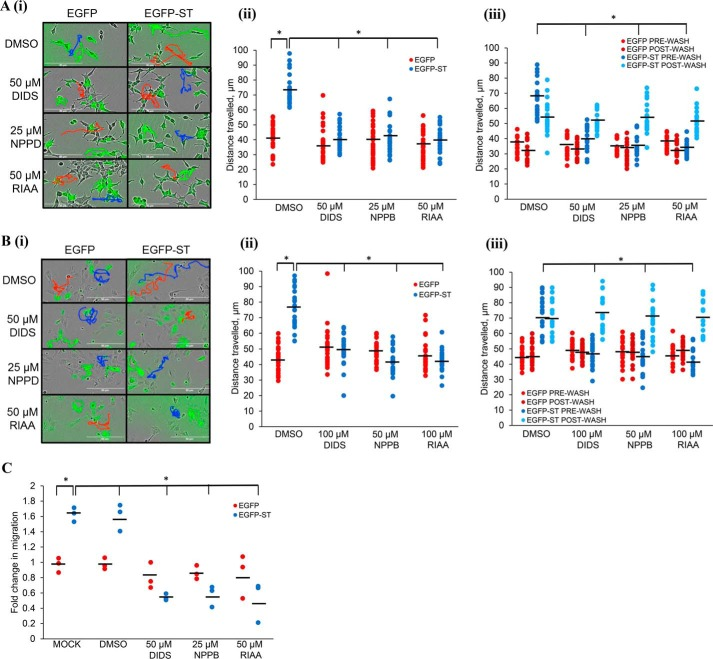 Cl − channel blockers inhibit the metastatic phenotypic changes associated with ST expression. A and B , in ( A ) i293-EGFP and i293-EGFP-ST cells were induced with doxycycline hyclate and in ( B ) MCC13 cells were transfected with EGFP and EGFP-ST. ( i ) cells were then treated with DMSO, DIDS, RIAA, or NPPB and after 24 h, cell motility was measured using the IncuCyte kinetic imaging system. Images were taken every 30 min for a 24-h period. ( ii ) scatter plot showing cell movement tracked using ImageJ ( n = 25). Average cell movement, as indicated by the horizontal bar , was calculated and significance tested using a two-tailed Student's t test; *, p