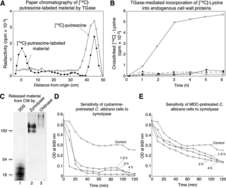 "[ 14 C]Lysine cross-linked by TGase activity was found in low- and high-molecular-weight cell wall proteins and inhibition of TGase enzyme by cystamine and MDC induced changes in cell wall that sensitized cells to zymolyase treatment. A , paper chromatography of [ 14 C]putrescine-labeled material performed by C. albicans TGase activity and released from CW by zymolyase ( filled circles ). Solubilized fraction containing 20,000 cpm analyzed by paper chromatography was described under the ""Experimental procedures."" [ 14 C]Putrescine substrate was also analyzed as a control ( open circles ). B , transglutaminase-mediated incorporation of [ 14 C]lysine into endogenous cell wall proteins. Reaction mixtures containing similar aliquots of cell walls and 2.5 μCi of [ 14 C]lysine with no cystamine ( open circles ) or with 50 m m cystamine ( filled circles ), boiled enzymatic source ( open triangles ), or 2 m m EDTA ( filled triangles ) were incubated for the indicated times; radioactivity in TCA-precipitable material was quantified. C , labeled samples with [ 14 C]lysine were sequentially released from cell walls by SDS, zymolyase, and chitinase and analyzed by 10% SDS-PAGE and fluorography. 10,000 cpm of labeled fractions were loaded in each lane. Lane 1, SDS-released material; lane 2 , zymolyase-released material; lane 3 , chitinase-released material. D and E, inhibition of TGase by cystamine and MDC increased sensitivity of C. albicans cells to treatment with zymolyase. Cells of C. albicans (adjusted to OD 600 nm = 0.5) previously incubated without ( circles ) or with 100 m m cystamine ( D ) or 3.5 m m MDC ( E ) for 1.5 h ( triangles ), 2 h ( inverted triangles ), and 4 h ( squares ) were treated with 50 μg ml −1 zymolyase 20T for up to 120 min. At the indicated times, OD 600 nm of cultures was monitored."