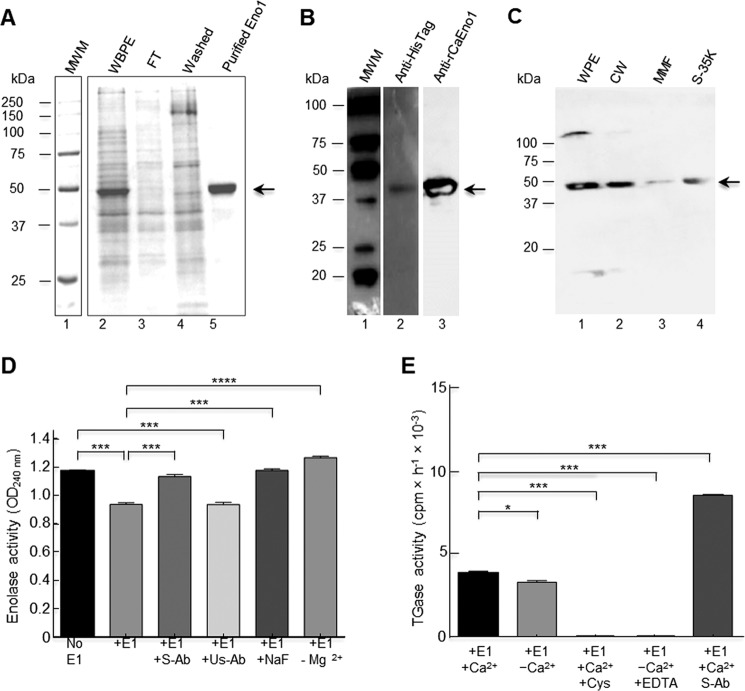 Recombinant enolase1 from C. albicans has TGase activity. The C. albicans ENO1 gene was cloned in the pCold II plasmid and transformed into E. coli BL21 (DE3) pLysS-competent cells; protein production was induced at 23 °C for 24 h. A , Eno1 protein was purified by IMAC with a Ni 2+ -NTA–agarose column in native conditions as described, and elution fractions were evaluated by 12% SDS-PAGE; MWM , protein molecular weight markers. Empty vector was also transformed in bacteria and passed through the same IMAC column, and the fractions obtained were also analyzed as a negative control (data not shown). B , Western blot of purified recombinant protein using anti-His–tag polyclonal antibodies ( lane 2 ) and rabbit anti-rCaEno1 protein ( lane 3 ). C , Western blot of C. albicans cell fractions using anti-rCaEno1 polyclonal antibodies. WPE , whole-protein extracts; CW , cell wall fraction; MMF , mixed membrane fraction; S-35K , soluble cytosolic fraction. Arrows indicate Eno1 protein. D , enolase activity was determined with purified rCaEno1 protein. E , TGase activity determined with purified rCaEno1 protein. These results allowed us to conclude that rCaEno1 protein has both enolase and transglutaminase activities. Statistical unpaired t test. *, p