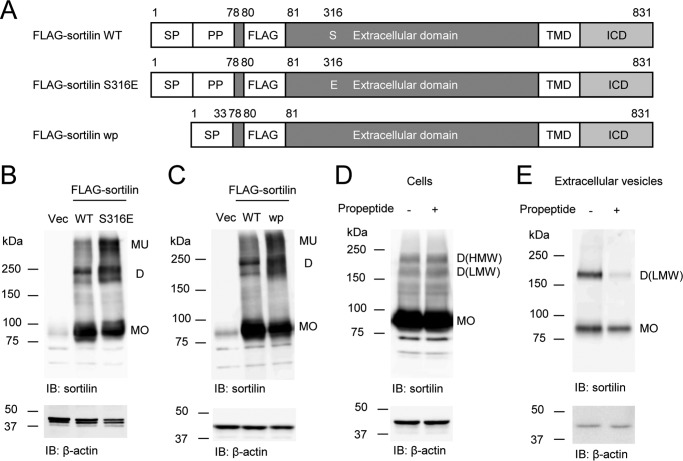 Sortilin S316E and sortilin wp increase dimerization in HEK293 cells, and the addition of propeptide decreases dimerization in the extracellular vesicles of FLAG-sortilin HEK293 cells. A , schematic of FLAG-sortilin WT, S316E, and wp. Serine 316 was replaced by glutamic acid in FLAG-sortilin S316E. Propeptide was removed in FLAG-sortilin wp. SP , signal peptide; PP , propeptide. B , S316E increased dimerization of sortilin in HEK293 cells ( n = 3). C , removal of propeptide increased dimerization of sortilin in HEK293 cells ( n = 3). D and E , addition of propeptide (100 nmol/liter) decreased dimerization of sortilin in the extracellular vesicles of FLAG-sortilin HEK293 cells ( E ), whereas a decrease in the cells was not observed ( D ) ( n = 2). Monomers and homodimers of high and low molecular weight are abbreviated as MO , D(HMW) , and D(LMW) , respectively. Vec , vector; IB , immunoblotting.