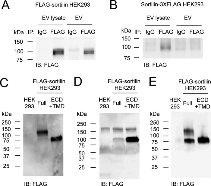 Soluble sortilin forms homodimers. A and B , orientation of sortilin on the EV membrane was determined using EVs secreted from FLAG-sortilin HEK293 cells ( A ) and sortilin-3XFLAG HEK293 cells ( B ). EVs or their lysates were subjected to immunoprecipitation with anti-FLAG M2 antibody, and FLAG-sortilin ( A ) or sortilin-3XFLAG ( B ) was detected by Western blotting with anti-FLAG antibody, showing that the extracellular domain of sortilin is located outside of EVs ( n = 3). C and D , soluble sortilin secreted by HEK293 cells overexpressing FLAG-sortilin Full and FLAG-sortilin ECD+TMD was detected in non-reducing ( C ) and reducing Western blotting ( D ), showing that they were homodimers and monomers, respectively ( n = 3). E , soluble sortilin secreted by HEK293 cells overexpressing FLAG-sortilin Full and FLAG-sortilin ECD+TMD was purified and detected in non-reducing Western blotting. IB , immunoblotting.