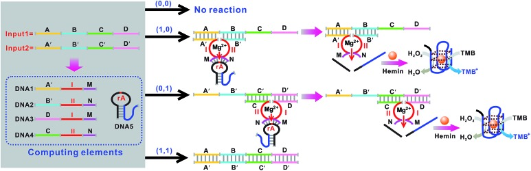Schematic representation of the XOR logic gate that consists of the DNAzyme subunits (DNA1–DNA4), the substrate (hairpin DNA5, the caged G-quadruplex sequence in the stem structure of the hairpin is indicated in blue) and the input DNA. Throughout the paper the domains X and X′ in the DNA strands represent complementary base pair regions. Domains I and II are the catalytic core components of the Mg 2+ -dependent DNAzyme subunits.