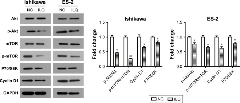 Isoliquiritigenin regulates the members of PI3K/Akt/mTOR pathway in Ishikawa and ES-2 cells. ILQ treatment significantly reduced the expression level of p-Akt, p-mTOR, P70/S6K, and Cyclin D1 in both Ishikawa and ES-2 cells. * P