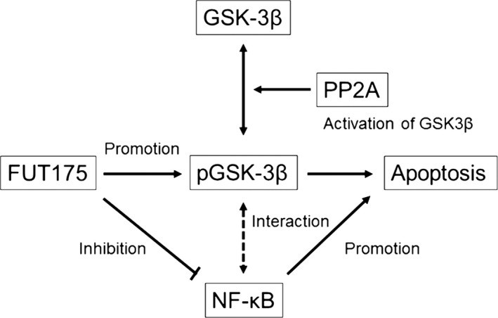 Schematic diagram of the role of glycogen synthase kinase ( GSK )‐3β in the signaling pathways of the antitumor effect of nafamostat mesilate. The antitumor effect of nafamostat mesilate is in proportion to the level of phosphorylated GSK ‐3β (inactive form of GSK ‐3β) and nafamostat mesilate may enhance its antitumor effect by increasing phosphorylated GSK ‐3β. PP 2A inhibitor increases phosphorylated GSK ‐3β as a result of inhibition of activation of GSK ‐3β by PP 2A, and enhances the antitumor effect of nafamostat mesilate. There is an interaction between nuclear factor‐kappa B ( NF ‐κB) and GSK ‐3β