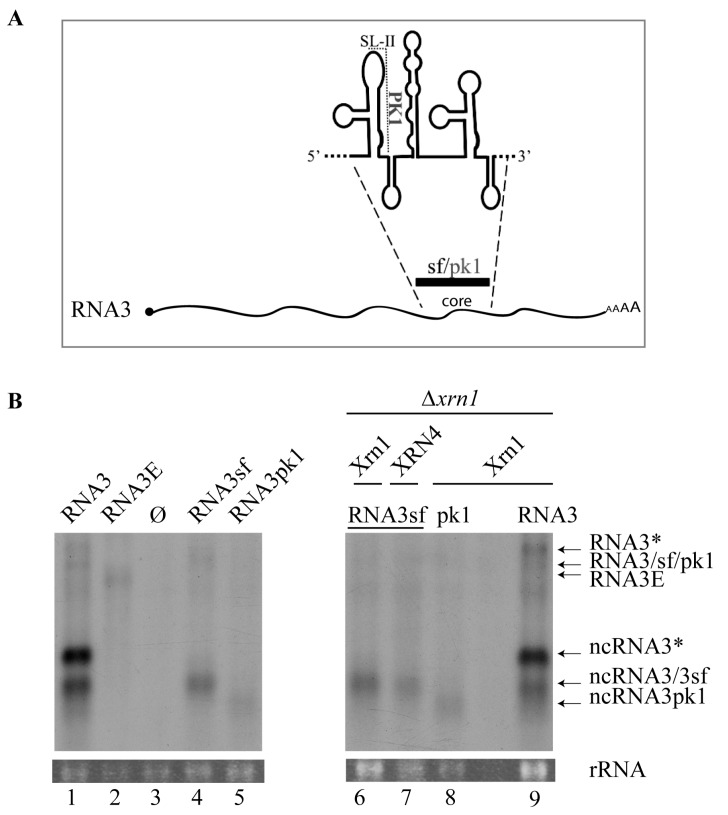 Accumulation of noncoding RNA3sf from chimeric RNA3sf inhibits Xrn1 and AtXRN4 exoribonucleases in Saccharomyces cerevisiae . ( A ) The 'core' sequence was replaced by a wt (sf) or mutated (pk1) flavivirus sequence to produce RNA3sf and RNA3pk1, respectively. PK1 pseudoknot involving stem-loop II (SL-II) is shown; ( B ) northern blot analyses of RNA3 and ncRNA species produced in yeasts. Plasmids allowing the expression of RNA species indicated that RNA3, RNA3E, RNA3sf, RNA3pk1, or empty vector (Ø) were introduced in wt yeasts (lanes 1–5) or Xrn1-defective yeasts (Δ xrn1 , lanes 6–9) complemented with a vector allowing for the production of yeast Xrn1 (lanes 6, 8, and 9) or plant XRN4 (lane 7). The RNA3* and ncRNA3* are similar to RNA3 and ncRNA3, respectively, but possess a CYC1 terminator sequence followed by a polyA tail (see Figure 1 and text for details). Positions of the RNA species are indicated on the right. Total RNAs were subjected to northern blot analysis using a BNYVV-specific 3′ probe complementary to nt 1277–1774. The partial complementarity of the probe with the ncRNA3sf species does not allow for quantitative comparisons. Loading was visualized by ethidium-bromide staining (rRNA). No sample was loaded between lanes 8 and 9.