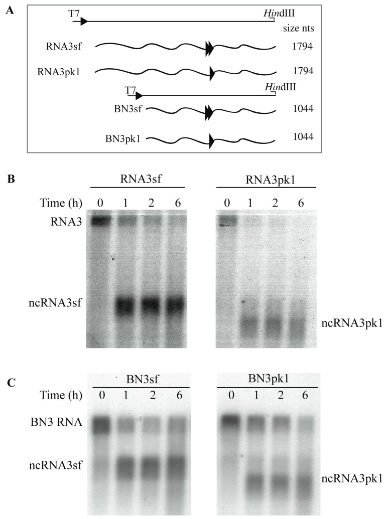 Both ncRNA3sf and ncRNA3pk1 stall Xrn1 processing in vitro. ( A ) Schematic representation of the T7-driven cDNA clones constructs used to produce run-off in vitro transcripts depicted in waved lines. Double and single arrowheads correspond to the sf and pk1 structural motifs, respectively. The position of the restriction sites used and the size of the transcripts are indicated; ( B ) 5′ phosphorylated chimeric RNA3sf or RNA3pk1 and ( C ) BN3sf or BN3pk1 species were mixed with commercial Xrn1 enzyme for 6 h. Aliquots were sampled at the time indicated and RNAs species were detected by northern blot using a specific DNA probe able to reveal both full-length and ncRNA3 species.