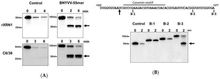 A 55 nt fragment containing the coremin motif is sufficient to stall XRN1. ( A ) 5′ monophosphorylated radiolabeled RNA substrates containing either control sequences derived from pGEM-4 or a 101-nt RNA containing a 55 base fragment from the RNA3 segment of BNYVV (nts 1222–1277) at the 3′ end and 53 nts of pGEM-4 polylinker sequence at its 5′ end to serve as a landing site for 5′-to-3′ exonucleases) were incubated with either purified recombinant XRN1 from Kluyveromyces lactis (rXrn1 panel) or cytoplasmic extract from C6/36 Aedes albopictus cells for the times indicated. Reaction products were resolved on a 5% acrylamide gel containing urea and viewed by phosphorimaging. ( B ) Top: sequence of the 55 nts BNYVV RNA fragment. The black arrow indicates the site of XRN1 stalling. Fragments B-1, B-2, and B-3 containing BNYVV-specific sequences ranging from position 1222 to the base indicated in the figure. Bottom: 5′ monophosphorylated radiolabeled RNA substrates containing either control sequences derived from pGEM-4 or the B-1, B-2, or B-3 fragments of the RNA3 segment (nts 1222–1277) as indicated in the top part of the panel (inserted into the pGEM-4 polylinker as indicated in panel A) were incubated with purified recombinant XRN1 for the times indicated. Reaction products were resolved on a 5% acrylamide gel containing urea and viewed by phosphorimaging. Arrows indicate the positions of the RNA species stalling XRN1.