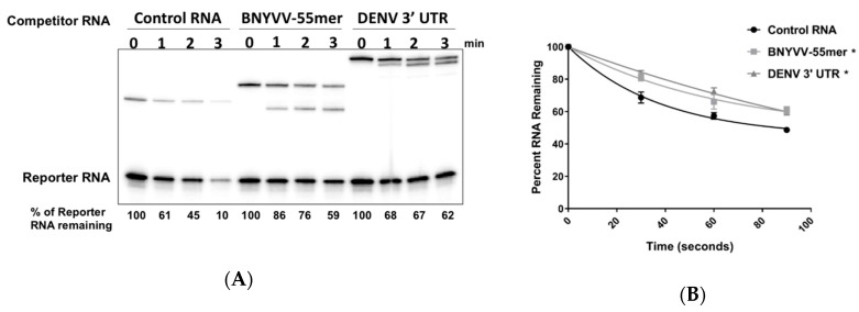 A 55 nt core fragment of RNA3 of BNYVV represses Xrn1. ( A ) A radiolabeled RNA containing a 5′ monophosphate (Reporter) was incubated with purified recombinant XRN1 for the times indicated. A 20X molar excess of lightly radiolabeled, 5′ monophosphorylated non-specific competitor RNA ('Control RNA' lanes), a competitor transcript containing the 55 nt core BNYVV RNA3 fragment ('BNYVV-55mer' lanes), or a competitor transcript containing the 3′ UTR of Dengue virus type 2 ('DENV 3′ UTR' lanes) was added to reactions. After the times indicated, reaction products were analyzed on 5% polyacrylamide gels containing urea and visualized by phosphorimaging. ( B ) Graphical presentation of the effect of the various competitor RNAs on Xrn1 activity on the Reporter transcript. Results shown are from three independent experiments. The asterisk represents a p value of
