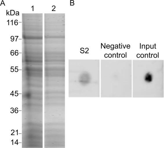 Biotin labeling of proteome of pneumococci and confirmation of the presence of biotinylated proteins bound to human BMEC. Panel A shows protein labeling. Lane 1, protein extract of pneumococci prior to biotinylation separated on SDS-PAGE. Lane 2, biotinylated proteins were incubated on NeutrAvidin capture beads, eluted with 50 mM DTT and separated on SDS-PAGE. Lane 1 and 2 were cropped from original image obtained after PAGE (see Supplementary Figure 5 ). Note that the gel depicted here is representative of four replicates. Panel B shows the presence of biotinylated proteins in S2.Protein extract of BMEC obtained after incubation of biotinylated proteins of pneumococci with BMEC was spotted on the membrane and detected with IRdye®800 Streptavidin (S2) in dot blot. Total protein extract of human BMECs was spotted on membrane and incubated with IRdye®800 Streptavidin (negative control); Biotinylated proteins of pneumococci were spotted on membrane and detected with IRdye®800 Streptavidin (input control). ( B ) was created by combining cropped fragments from two membranes (see Supplementary Figure 6 ).