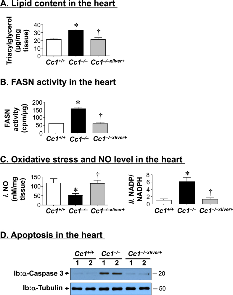 Lipid content, oxidative stress and apoptosis in the heart. The hearts of 6 month-old mice (n = 5/genotype) were assayed in triplicate for (A) triacylglycerol level; (B) fatty acid synthase (FASN) activity by [ 14 C]-malonyl-CoA incorporation; (C i ) NO content and (C ii ) NADP/NADPH as measure of oxidative stress. * P ≤ 0.05 versus Cc1 +/+ and † P ≤ 0.05 Cc1 −/−xliver + versus Cc1 −/− mice. (D) Heart lysates were analyzed by Western blot using caspase 3 antibody that detected the cleaved fragment of ∼20 kDa apparent molecular weight. Gels represent 2 separate experiments performed on different mice/genotype/treatment.