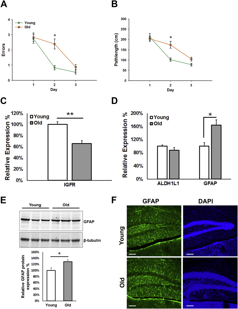 Age-dependent impairment in learning is associated with decreased hippocampal IGFR expression and gliosis. C57Bl/6 young (4–6 m) and old (22–24 m) mice were tested on the radial arm water maze for spatial learning (n = 10/group). Old mice showed significantly more errors (A) and pathlength (B) to target and display a shallow learning curve compared to young mice. Hippocampal IGFR (C) expression was significantly decreased, while gliosis marker, GFAP, was significantly increased (D) in old mice compared to young. Increase in GFAP protein expression is validated via western blotting (E; n = 6/group) as well as by immunohistochemistry (n = 3/group) in young and old mice. Scale bar = 100 μm. Data are represented as the Mean ± SEM. *P