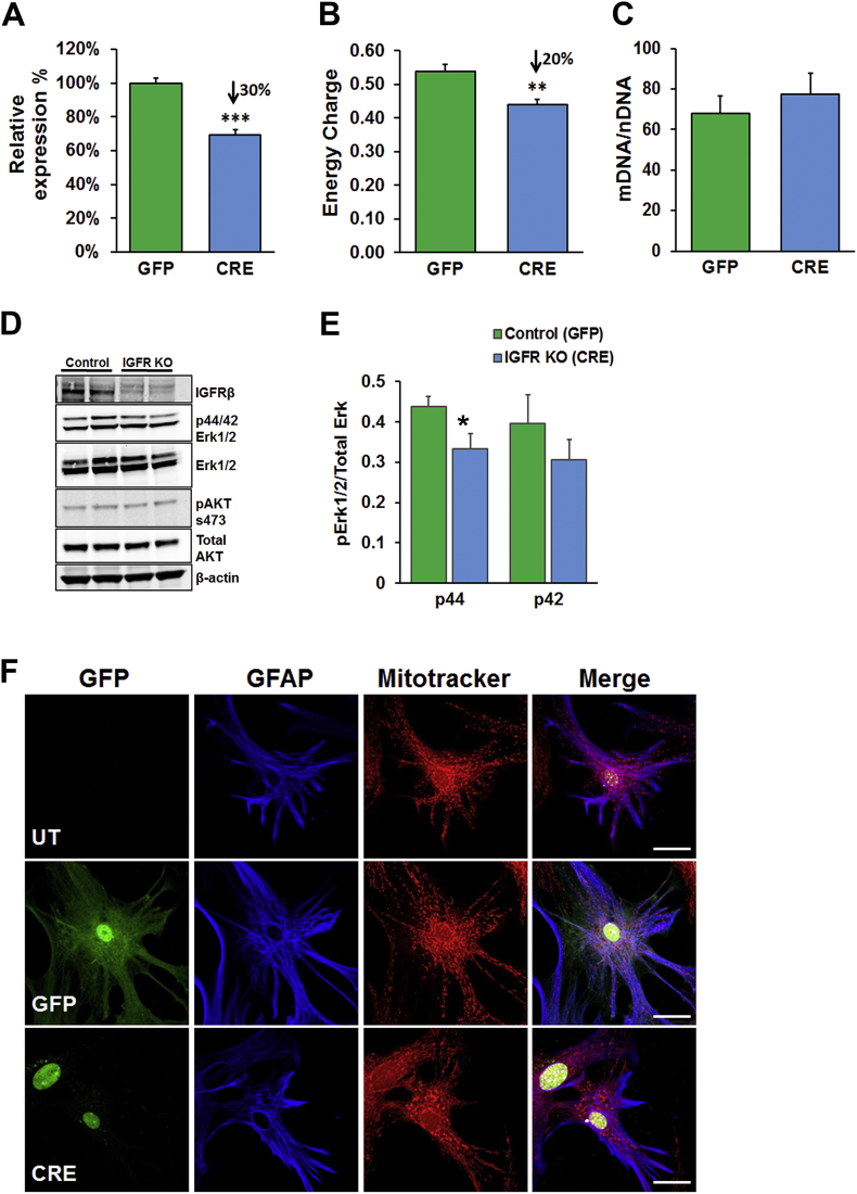 IGFR signaling deficiency modulates mitochondrial energy charge in astrocytes in complete growth media. Knockout of IGF-1R in astrocytes (A–C) showed 30% reduction in mRNA levels (A), ∼20% reduction in energy charge (B) with no significant change in mitochondrial DNA/nuclear DNA ratio (C) in the overall population. (D) Representative western blots for IGFRβ and ERK showing reduction IGFR in the knockout and reduced p44 ERK levels quantified in (E), while no differences were found in AKT phosphorylation. Data were analyzed by two-tailed student T-test; Mean ± SEM; n = 5 per group. (F) Representative confocal images of untransduced (UT; top panel), GFP-transduced (GFP; middle panel) and IGF-1R knockout (CRE; bottom panel) astrocytes labeled for GFAP (blue) and Mitotracker (Red) showing a vesicular perinuclear mitochondrial localization in the knockout. Scale bar = 20 μm; n = 3/group.