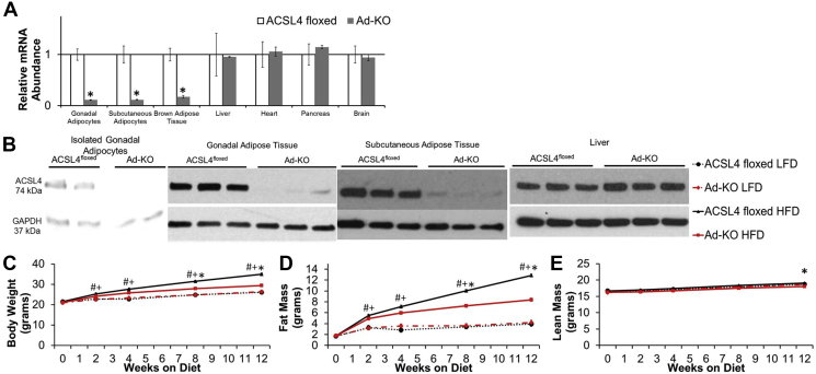 Mice that lack ACSL4 specifically in adipocytes are protected against high fat diet-induced obesity . (A) ACSL4 RNA expression quantified by real-time PCR relative to Cyclophilin A in isolated adipocytes and metabolically relevant tissues in 20 week old males fed LFD. n = 3–7 mice per group; *p ≤ 0.05 ACSL4 floxed vs. Ad-KO. Student's t-test. (B) Representative immunoblot against ACSL4 in isolated gonadal adipocytes, whole gonadal adipose tissue, whole subcutaneous adipose tissue, and liver of 20-week-old males. (C) Body weight, (D) fat mass, and (E) lean mass from 8 to 20 weeks of age in male mice fed LFD or HFD; n = 11–12 mice/group LFD, 28–31 mice/group HFD; #p ≤ 0.05 ACSL4 floxed LFD vs. HFD, +p ≤ 0.05 Ad-KO LFD vs. Ad-KO HFD, and *p ≤ 0.05 ACSL4 floxed HFD vs. Ad-KO HFD; Repeated measures ANOVA with Tukey's HSD for multiple comparisons. Data represent ± SEM.