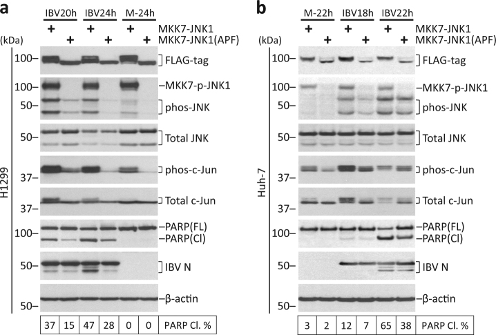 Overexpression of constitutively active JNK promotes IBV-induced apoptosis a H1299 cells in duplicate were transfected with <t>pcDNA-MKK7-JNK1</t> or pcDNA-MKK7-JNK1(APF), before being infected with IBV at MOI~2 or being mock infected. One set of cells were harvested for protein at the indicated time points and were subjected to Western blot analysis using the indicated antibodies. Beta-tubulin was included as loading control. Sizes of protein ladders in kDa were indicated on the left. Degree of JNK phosphorylation and the percentage of PARP cleavage was determined as in Fig. 3b . The experiment was repeated three times with similar results, and the result of one representative experiment is shown. b Huh-7 cells were transfected and infected similarly as in a. Western blot analysis and data quantification were performed as in a . The experiment was repeated three times with similar results, and the result of one representative experiment is shown.