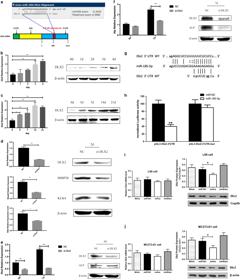 iR-185-5p inhibits Dlx2 expression m a Schematic of the miR-185-5p putative target site in mouse Dlx2 3′ UTR. b Expression level of Dlx2 during the amelogenic differentiation of LS8 cells. c Expression change of Dlx2 during the osteogenic differentiation of MC3T3-E1 cells. d Knockdown of Dlx2 in LS8 cells treated with RA/DEX for 48 h inhibited the expression of Mmp20 and Klk4 . e Knockdown Dlx2 in MC3T3-E1 cells at day 0 of osteogenic induction had no obvious effect on the expression of Alp . f Expression of Alp on day 7 of osteogenic induction was inhibited by si- Dlx2 in MC3T3-E1 cells. g Putative miR-185-5p-binding sequence in the 3′ UTR of Dlx2 mRNA. Mutations were generated in the Dlx2 sequence in the complementary site for the seed region of miR-185-5p as indicated. h Normalized luciferase activity from Dlx2 3′ UTR reporter vector containing a wild-type or mutant miR-185-5p. i and j Relative Dlx2 mRNA and protein expression, determined by RT-PCR and western blot, respectively, in LS8 cells or MC3T3-E1 cells transfected with 50 nM miR-NC, miR-185-5p mimic, or miR-185-5p inhibitor. RNA and protein were harvested 2 days after transfection. Cells transfected with control miR-NC were designated as negative control. Data are representative images or expressed as mean ± S.E. of each group of cells from three separate experiments, and the values of the control cells are designated as 1. * p