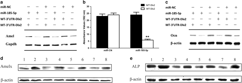 miR-185-5p inhibits amelogenesis and osteogenesis by suppressing Dlx2 expression a Overexpression of mutant 3′-UTR- Dlx2 in LS8 could abolish the negative effect of miR-185-5p on the expression of Amelx . b-c Overexpression of Dlx2 in MC3T3-E1 alleviated the inhibitory effect caused by miR-185-5p mimics. Alizarin Red S stain was quantified b and protein level of Ocn c was determined after treatment with STEMPRO for 21 days. d, e Inhibition of miR-185-5p could partially rescue the inhibitory effect of mutant Runx2 on expression of Amelx and Alp (1: Runx2 WT + inhibitor NC, 2: Runx2 WT + miR-185-5p inhibitor, 3: Runx2 M1 + inhibitor NC, 4: Runx2 M1 + miR-185-5p inhibitor, 5: Runx2 M2 + inhibitor NC, 6: Runx2 M2 + miR-185-5p inhibitor, 7: Runx2 M3 + inhibitor NC, 8: Runx2 M3 + miR-185-5p inhibitor)