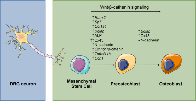 Role of DRG neurons in different phases of osteoblast differentiation from MSCs DRG neurons promote the osteogenic differentiation potential of MSCs by regulating the canonical/β-catenin Wnt signaling pathway and expression of osteoblast-related genes/proteins in MSCs.