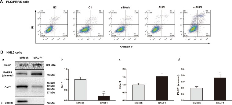 Inhibited expression of AUF1 promotes HCC cell death ( A ) PLC/PRF/5 cells were grown in 6-well plate. The cells were transfected with <t>pmCherry-AUF1</t> (AUF1) or siRNA of AUF1 (siAUF1) for 24 h in the medium without serum. Apoptosis was determined by flow cytometry. Control cells were transfected with liposome (NC), <t>pmCherry-C1</t> (C1) or siMock. ( B ) 80% confluent HHL-5 cells were transfected with siAUF1 or siMock for 24 h in the medium without serum. The expression of Dicer1, AUF1, and cleaved PARP1 was determined by Western blotting (a). The relative expression levels are presented as mean ± SD (b, c, d). n = 4, * P