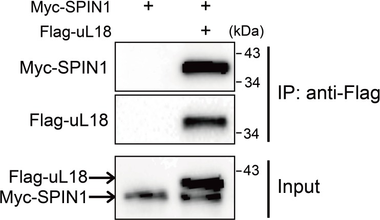 SPIN1 interacts with uL18 in HEK293 cells. HEK293 cells were transfected with plasmids encoding Myc-SPIN1 and Flag-uL18, and 48 hr later cell lysates were collected for IP-WB analysis using anti-Flag antibody.