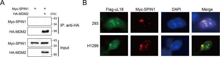 SPIN1 does not bind to MDM2, and SPIN1 and uL18 co-localize in the nucleolus. ( A ) SPIN1 does not bind to MDM2. HCT116 p53-/- cells were transfected with combination of plasmids encoding Myc-SPIN1 and HA-MDM2, followed by IP-WB analysis with indicated antibodies. ( B ) SPIN1 and uL18 co-localize in the nucleolus. HEK293 and H1299 SPIN1 stable cells were transfected with Flag-uL18 for 36 hr and then immunostained with anti-Myc (red) and anti-Flag antibody (green), and counterstained with DAPI.