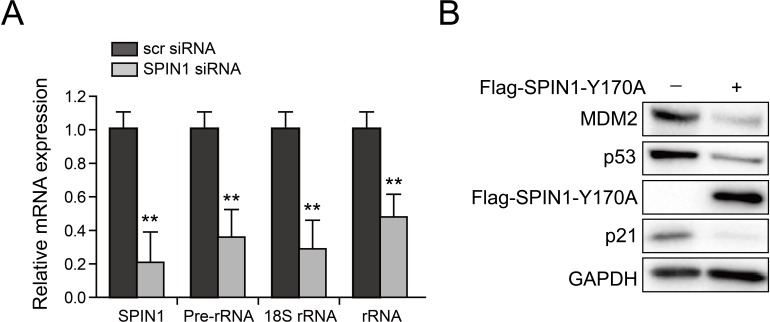 SPIN1 knockdown reduces rRNA expression and SPIN1-Y170A mutant retains activity to repress p53. ( A ) Scramble siRNA or SPIN1 siRNA was introduced into U2OS cells. RNA levels were analyzed using Q-PCR (*p value