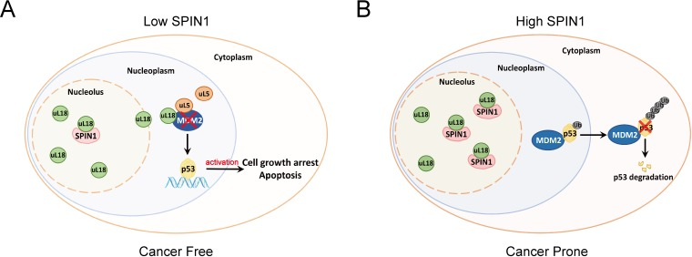 A model for SPIN1 regulation of the uL18-MDM2-p53 pathway in cancer.(see text in the Discussion for details).