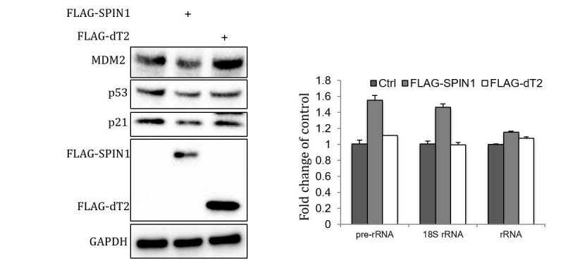SPIN1-dT2 fails to inhibit p53.