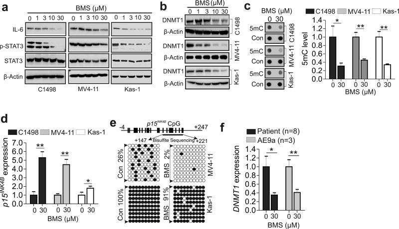 Pharmacological inhibition of FABP4 induces DNA hypomethylation and restores the epigenetically silenced p15 INK4N . ( a and b ) Western blotting of C1498, MV4-11 or Kasumi-1 cells exposed to BMS. ( c ) C1498, MV4-11 or Kasumi-1 cells were treated with BMS and the genomic DNA was subjected to Dotblotting. Left, representative images of dots; right, graph shows quantification of dot intensity. ( d ) qPCR of C1498, MV4-11 or Kasumi-1 cells treated with BMS. ( e ) Bisulfite sequencing of the p15 INK4B promoter in MV4-11 or Kasumi-1 cells treated with BMS. Results of 10 clones are presented. Vertical bars indicate CpG locations, arrows indicate the bisulfite sequencing region, open circles show unmethylated CpG, and solid circles show methylated CpGs. ( f ) qPCR of human patient (n = 8) or mouse (n = 3) AML primary cells treated with BMS. The experiments were performed three times independently and data are shown as mean values ± SD, * P