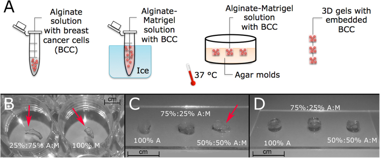 Composite cell-laden gel development. ( A ) Schematic description of the protocol used to produce 3D cell-laden Alginate-Matrigelcomposite gels: breast cancer cells MDA-MB-231 are seeded first in liquid alginate and then Matrigel is added working on ice. The cell-laden solution is transferred into Agar molds enriched with <t>CaCl2</t> ions at 37 °C for to allow gelation. Then, 3D gels are removed by molds and trasferred into plates with culture media. ( B ) Gels composed by 25%:75% A:M and 100% M ratios resulted too soft and not handy. ( C ) a concentration of 2 million cells/ml caused a fast degradation of 50%:50% A:M gels, thus it was reduced to 1 million cells/ml. ( D ) finally, structurally compact gels were obtained.