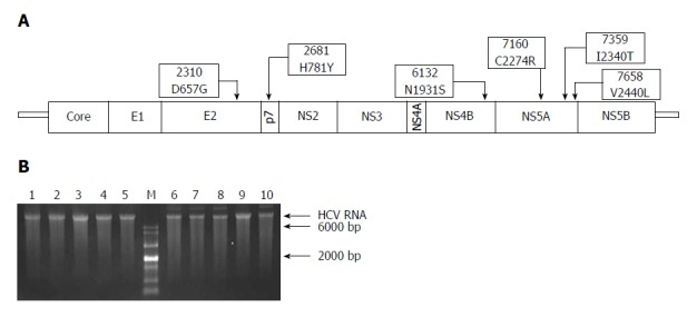Schematic representation of adaptive mutations used in this study (A) and the electrophoresis results of each mutant virus RNA (B). A: Both nucleotide substitutions (2310, 2681, 6132, 7160, 7359, and 7658) and amino acid substitutions (D657G, H781Y, N1931S, C2274R, I2340T, and V2440L) are shown; B: HCV RNA (500 ng) was analyzed using formaldehyde agarose gel electrophoresis. Lane 1: JFH1; Lane 2: JFH1-mE2; Lane 3: JFH1-mP7; Lane 4: JFH1-mNS4B; Lane 5: JFH1-mNS5A; Lane 6: JFH1-mE2/NS5A; Lane 7: JFH1-mp7/NS5A; Lane 8: JFH1-mNS4B/NS5A; Lane 9: mJFH1; Lane 10: JFH1-mE2/p7/NS5A; M: RNA marker. HCV: hepatitis C virus.