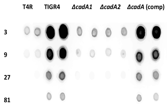 Immunoblot analysis of capsular polysaccharides in TIGR4 and mutant strains. All strains were cultured in THY supplemented with fetal bovine serum (FBS) to mid-log phase. Total capsular polysaccharide (CPS) isolated from equal number of cells for each strain, and 3× dilutions were spotted onto a nitrocellulose membrane. Membranes were probed with rabbit anti-serotype 4 sera and horseradish peroxidase (HRP)-conjugated goat anti-rabbit secondary antibody. Membranes were developed with enhanced chemiluminiscence (ECL) detection and scanned using a ChemiDoc XRS+ with Image Lab software (Bio-Rad, Hercules, CA, USA). Data from representative immunoblot from two independent colonies for each strain are shown.