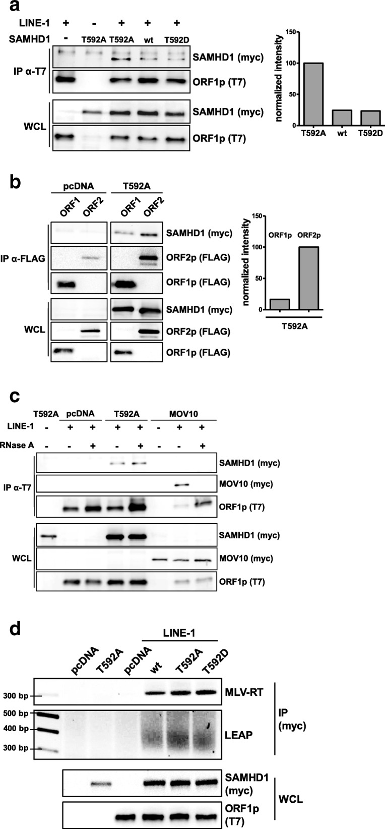 SAMHD1 interacts with LINE-1. a 293T cells were transfected with the L1 expression vector pAD2TE1 together with plasmids encoding wt SAMHD1, SAMHD1 T592A, or SAMHD1 T592D. Two days posttransfection, cells were lysed and ORF1p-T7 was precipitated using anti-T7 antibody coupled to magnetic beads. The precipitates were analyzed by immunoblot. SAMHD1-myc, T592A-myc, and T592D-myc signals were quantified using AIDA Image Analyzer software and normalized on the T7 signal in IP (bait) and the myc signal in WCL (input). b 293T cells were transfected with expression plasmids for L1 ORF1p-FLAG or ORF2p-3xFLAG together with empty vector (pcDNA) or SAMHD1 T592A. Two days posttransfection, cells were lysed and L1 proteins were precipitated with anti-FLAG antibody coupled to magnetic beads. A representative quantification of the precipitated SAMHD1 T592A signal is shown. HRP signals were quantified with AIDA Image analyzer software and normalized on bait signal and WCL input signal. c 293T cells were transfected with a L1 expression plasmid together with empty vector (pcDNA), SAMHD1 T592A, or MOV10. Cells were lysed 2 days posttransfection. Lysates were treated with either <t>RNaseOUT</t> or 15 μg/ml RNaseA prior to ORF1p-T7 precipitation using anti-T7 antibody coupled to magnetic beads. d 293T cells were transfected with empty vector (pcDNA), L1 expression vector and expression plasmids for SAMHD1 wt, T592A, or T592D. Cells were lysed 2 days posttransfection and SAMHD1 was precipitated with an anti-myc antibody coupled to magnetic beads. Subsequently, MLV-RT and LEAP-RT reactions were performed and amplification products were visualized on a 2% agarose gel. Input protein content was controlled by immunoblot. One out of three independent experiments is shown. WCL: Whole cell lysate, IP: immunoprecipitation