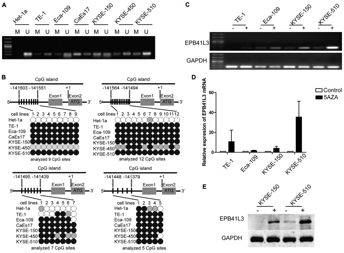 Reduced expression of EPB41L3 in ESCC is due to methylation. (A) Methylation-specific polymerase chain reaction analysis of the seven cell lines revealed that EPB41L3 was partially methylated in all six ESCC cell lines while it was unmethylated in the normal Het-1a cells. (B) Representation schematic of the pyrosequencing results for the methylation status of the CpG promoter in the seven cell lines tested. Gray boxes indicate exons. Vertical bars indicate CpG sites examined for methylation. Black, gray, and white circles represent hypermethylation, partial methylation and nonmethylation, respectively. The schematic illustrates the representative results of pyrosequencing of a cytosine residue(s) at −141551, −141494, −141439 and −141379 bp of the EPB41L3 promoter. (C) Treatment with 5-Aza-2-deoxygcitidine restored the expression of EPB41L3 in ESCC lines, suggesting that downregulation of EPB41L3 in ESCC is due to methylation. (D) Reverse transcription-quantitative polymerase chain reaction analyses revealed that EPB41L3 expression was increased in ESCC cell lines following 5-Aza-2-deoxygcitidine treatment. The increase was most evident in the KYSE-510 cells. In the other cell lines, although an increase was observed, this was not as evident as in the KYSE-510 cells. (E) Western blot analyses revealed that EPB41L3 expression was increased in KYSE-150 and KYSE-510 cells following 5-Aza-2-deoxygcitidine treatment. EPB41L3, erythrocyte membrane protein band 4.1 like 3; ESCC, esophageal squamous cell carcinoma; M, methylated primer; U, unmethylated primer; 5aza, 5-Aza-2-deoxygcitidine.