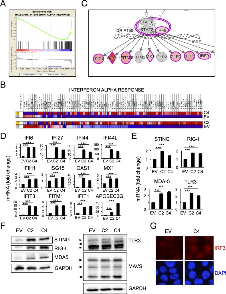 "HCT116 cells surviving PARP1 depletion activate innate immune signaling. (A-B) RNA-Seq data from HCT116 EV and HCT116 PARP1 -/- cells (clones C2 and C4) was analyzed using Gene Set Enrichment Analysis (GSEA). The top category of differentially expressed genes was ""Interferon Alpha Response"". The enrichment plot is shown in (A) and the heat map for the 97 mRNAs in this category in shown in (B). Map was generated using Cufflinks software (version 2.2.1) and shows absolute expression values independently normalized and analyzed for each comparison pair (EV/C2 and EV/C4). (C) The same RNA-Seq dataset was analyzed using Ingenuity Pathway Analysis (IPA). A representative plot highlighting enrichment for Interferon-Stimulated Genes (ISGs) is shown. (D) The induction of multiple ISGs observed by RNA-Seq was confirmed by q-RT-PCR. Bars represent the average and standard deviation of quadruplicate samples in each experiment and data is representative of 2–4 independent experiments. (E-F) The induction of factors involved in the sensing/signaling of cytoplasmic nucleic acids observed by RNA-Seq was confirmed by Q-RT-PCR (E). Bars represent the average and standard deviation of quadruplicate samples in each experiment and data is representative of 2–3 independent experiments. Protein expression for the same factors was assessed by immunoblotting (F). Blots are representative of 2–3 independent experiments. (G) Fixed cells were stained with an antibody to IRF3 and counterstained with DAPI. Images are representative of 5 random fields per slide. The experiment was repeated twice with similar results."