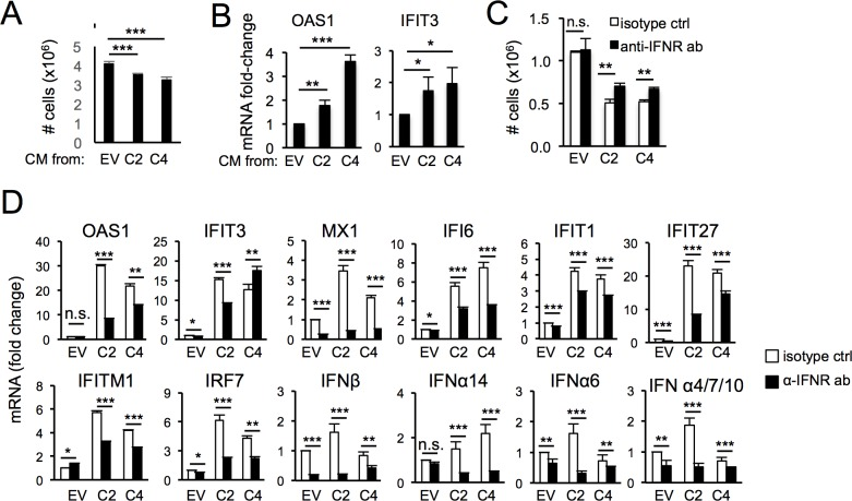 ISG induction in cells surviving PARP1 depletion requires secreted factors and the α/β-IFN receptor. (A-B) HCT116 EV were incubated with conditioned media from either HCT116 EV or HCT116 PARP1 -/- cells (clones C2 and C4) for 48 hours and the number of cells counted in triplicates (A). In parallel, OAS1 and IFIT3 mRNAs were quantified by q-RT-PCR (B). Data is normalized to the expression in cells incubated with conditioned media from HCT116 EV cells. (C-D) HCT116 EV and HCT116 PARP1 -/- cells (clones C2 and C4) were incubated with an antibody to the α/β-IFN receptor or an isotype control for 96 hours and the number of cells counted in triplicates (C). For the same samples, mRNAs for β-IFN, several α-IFNs and the indicated ISGs were quantified by qRT-PCR (D). Data is normalized to expression in HCT116 EV cells treated with an isotype control. Data is representative of two independent experiments.