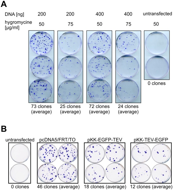 Efficiency of stable cell line generation. (A) Influence of plasmid quantity and selection stringency on the number of colonies obtained following stable transfection of 293 Flp-In T-REx cells. 1.0 μg of pOG44 was mixed with the indicated amounts of <t>pcDNA5/FRT/TO</t> and used for transfection. Cells were selected by treatment with the indicated concentration of hygromycin B and constant concentration of blasticidin S (10 μg/ml). Colonies were stained with crystal violet. (B) Comparison of stable transfection efficiency with pcDNA5/FRT/TO or its pKK derivatives. Cells were transfected with 300 ng of indicated plasmids and 1.0 μg of pOG44 and subjected to selection with hygromycin B (50 μg/ml) and blasticidin S (10 μg/ml).