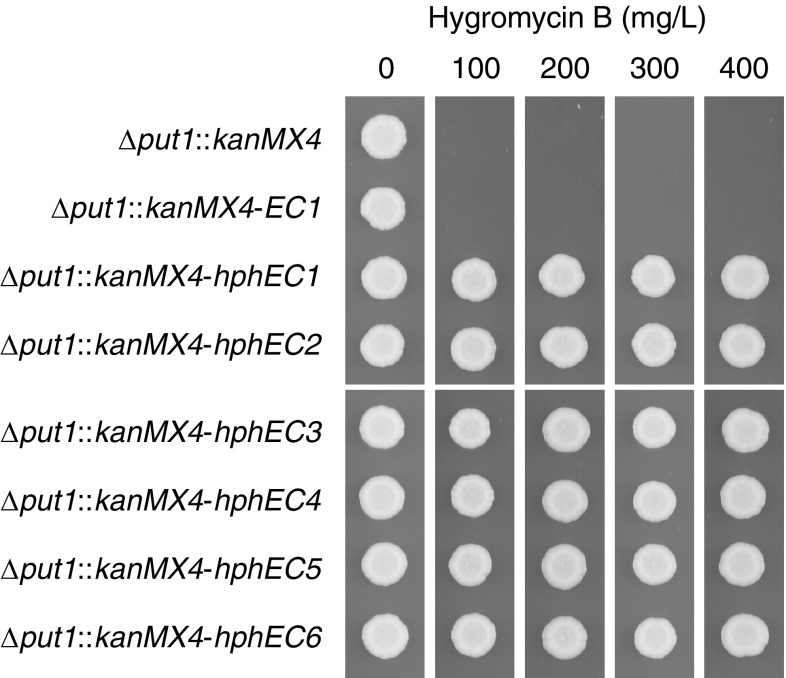 Hygromycin B tolerance of hphEC variants. Strains were pre-cultured overnight in 3 mL YM broth with 200 mg/L G418 disulfate and then diluted to OD 600 0.1 in fresh YM broth without any selection agent. 2 μL cell suspension of each strain was spotted on solid YM medium with the indicated concentration of hygromycin B. Plates were incubated for 2 days at 30 °C and then photographed