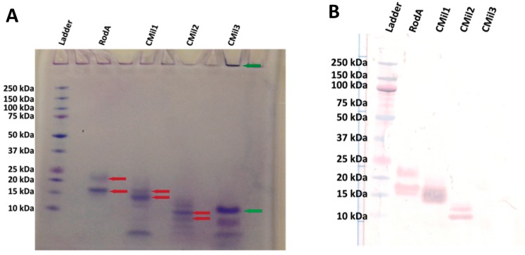 ( A ) Coomassie-stained (G-250) SDS-PAGE gel (20% gradient NuPAGE system) of the recombinant hydrophobins purified from bioreactor cultivation and ( B ) Western blot of SDS-PAGE gel against hydrophobin 6His-tag. Transferred gel was run under the same conditions as those for ( A ). A pre-stained ladder was loaded (3 μL) along with 23 μL of each sample. Red arrows in ( A ) indicate bands that are detected by the Western blot in ( B ). The green arrows indicate locations where CMil3 is believed to reside on the gel despite testing negatively in the Western Blot of ( B ). The green arrow at the top of the well indicates that there may be aggregation of the protein prior to or during the running of the sample on the gel. The predicted molecular weights of the proteins are as follows: RodA 15.2 kDa, CMil1 12.8 kDa, CMil2 10.0 kDa, and CMil3 9.7 kDa. Glycosylation likely accounts for the higher-than-expected position of RodA on the gel (between 15 and 20 kDa) [ 38 , 57 ].