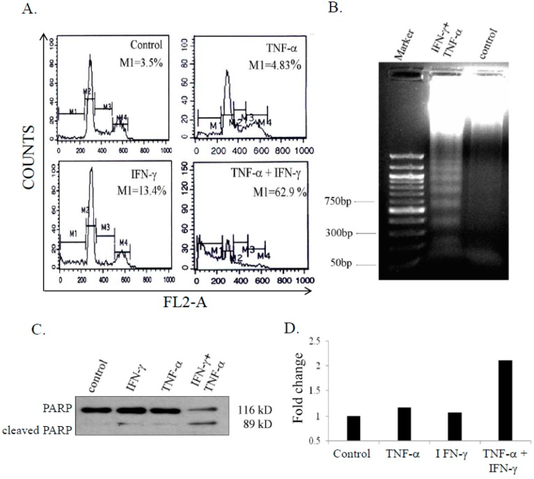 Combination of IFN-γ (interferon gamma) and TNF-α (tumor necrosis factor-alpha) enhances apoptosis in SK-N-MC cells. Cells were treated with IFN-γ (10 ng/mL) and TNF-α 20 ng/mL) alone and in combination for 48 h, and analyzed for apoptosis: ( A ) hypodiploid population by flow-cytometry; ( B ) DNA fragmentation; ( C ) Poly (ADP-ribose)polymerase (PARP) cleavage by immunoblotting; and ( D ) Casapase-8 activity assay. The figures are representative of 2 similar experiments.