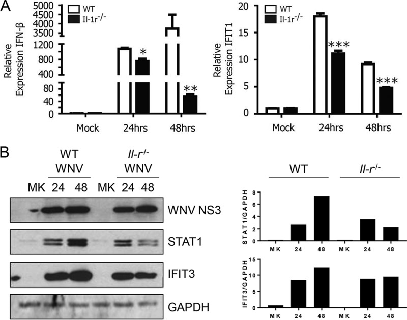 IL-1 signaling enhances antiviral responses. (A) WT or Il-1r −/− BMDCs were mock infected or infected with WNV at an MOI of 2.5. Expression of IFN-β and IFIT1 was measured by qRT-PCR at 24 and 48 h p.i. relative to that in matched, mock-treated controls. (B) Total cell WNV NS3, STAT1, and IFIT3 protein levels were measured by immunoblotting with GAPDH as a loading control (left). Densitometry analyses of STAT1 and IFIT3 protein abundance were compared against GAPDH abundance for each condition (right). The data are the averages of three independent experiments. Asterisks indicate values that are statistically significantly different between WT and Il - 1r −/− cells by unpaired t test (*, P