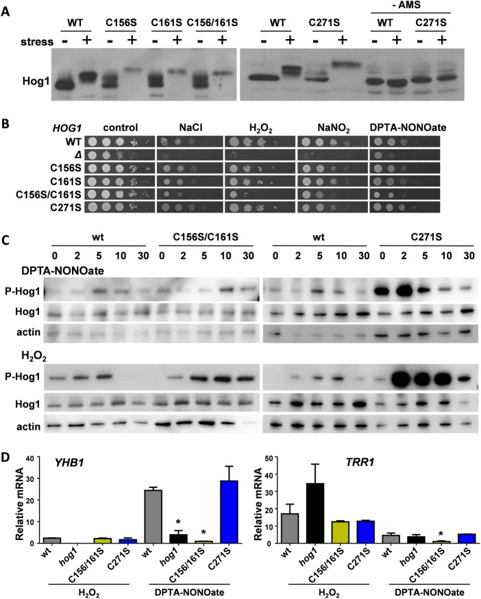 Stress-specific Hog1 outputs are differentially affected by C156, C161, and C271. (A) Impact of C156S, C161S, and C271S mutations upon the redox status of Hog1 following 10 min of exposure to 2.5 mM DPTA-NONOate, as revealed by AMS gels (see the legend to Fig. 3A ). The differences in Hog1 masses between wild-type cells and HOG1 C→S mutants reflect changes in disulfide bond formation in Hog1 in the absence and presence of stress. WT, Ca2226; C156S, Ca2222; C161S, Ca2224; C156/161S, Ca2225; C271S, Ca2216 ( Table S1 ). For the C156/161S columns, the wild-type controls were from the same blot as that showing the lanes with (+) and without (−) DPTA-NONOate and treatment with NEM, DTT, and AMS in Fig. 3A . (B) Impact of C156S, C161S, and C271S mutations upon the nitrosative-, oxidative-, and osmotic-stress sensitivity of C. albicans . Strains were spotted in 10-fold serial dilutions onto plates containing no stress (control), 1 M NaCl, 5 mM H 2 O 2 , 5 mM NaNO 2 , or 2.5 mM DPTA-NONOate. All figure panels for the wild type, null mutant, and C156S and C161S single and double mutants were derived from the same set of plates. The C271 mutant, which displayed no obvious stress phenotype, was compared to the wild-type control in a separate experiment. (C) Impact of C156S, C161S, and C271S mutations upon the phosphorylation dynamics of Hog1 phosphorylation following exposure of cells to 2.5 mM DPTA-NONOate or 5 mM H 2 O 2 . Western blotting was performed on cell extracts prepared at the times indicated (in minutes). Phosphorylated Hog1 (P-Hog1) was detected by probing the blots with phospho-p38 antibody, and for loading controls, the blots were reprobed for total Hog1 and actin. The results are indicative of three independent replicate experiments, and the data for the individual HOG1 C156S and HOG1 C161S mutants are shown in Fig. S4 . (D) Impact of C156S, C161S, and C271S mutations upon the Hog1-mediated induction of nitrosative ( YHB1 )- and oxidative ( TRR1 )-stress genes i