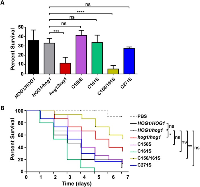 Hog1 C156S, C161S, and C271S mutations differentially impact the sensitivity to phagocytic killing and virulence of C. albicans . (A) The sensitivity of C. albicans to phagocytic killing was assayed by counting fungal CFU after 2 h of exposure to human PMNs (1:10 ratio of yeast cells to phagocytes). PBS, phosphate-buffered saline control; HOG1/HOG1 , RM1000+CIp20; HOG1/hog1 , Ca2226; hog1/hog1 , JC50; C156S, Ca2222; C161S, Ca2224; C156/161S, Ca2225; C271S, Ca2216 ( Table S1 ). Means and standard deviations from three independent replicate experiments are shown. ns, not significant; ***, P