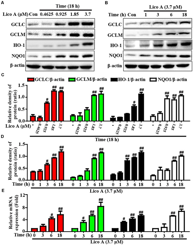Effects of Lico A exposure on the upregulation of Nrf2-mediated antioxidant signaling pathway in HepG2 cells. (A) HepG2 cells were treated with different concentrations of Lico A (0.4625, 0.925, 1.85, or 3.7 μM) for 18 h, and (B) cells were exposed to Lico A (3.7 μM) for four time points (1, 3, 6, or 18 h). Protein expressions of GCLC, GCLM, HO-1, and NQO1 were measure by Western blotting analysis. (C,D) Quantification of GCLC, GCLM, HO-1, and NQO1 protein expressions were performed by densitometric analysis and β-actin was acted as an internal control. (E) Cells were exposed to Lico A (3.7 μM) for three time points (3, 6, or 18 h). Effects of Lico A on GCLC, GCLM, HO-1, and NQO1 genes expression. Total RNA was extracted from HepG2 cells and genes expression was quantified using real-time PCR. Similar results were obtained from three independent experiments. All results were expressed as means ± SEM of three independent experiments. # p